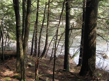 Old growth lake edge